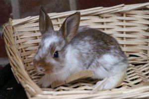 Exposition de lapins et volailles